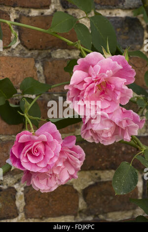 Close up of a rose (variety unknown) at Sissinghurst Castle Garden, near Cranbrook, Kent. - Stock Photo