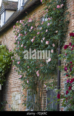The pale pink Rosa 'Meg' on the wall of the inner side of the Front Courtyard at Sissinghurst Castle Garden, near - Stock Photo