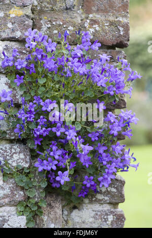 Small Campanula on a brick wall at Sissinghurst Castle Garden, near Cranbrook, Kent. - Stock Photo