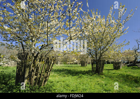 Cherry trees in  blossom in April in Bohetherick orchard, near Cotehele Quay, Cornwall. Bohetherick is one of the - Stock Photo