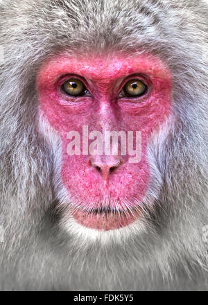 Close-up portrait of a snow monkey, Nagano, Honshu, Japan - Stock Photo