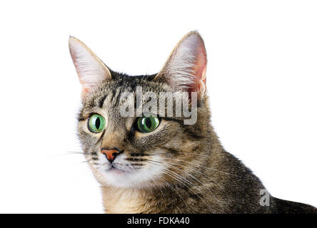Curious tabby cat on a white background - Stock Photo