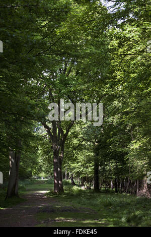 View looking down an ancient ride through coppice at Hatfield Forest, Essex. - Stock Photo