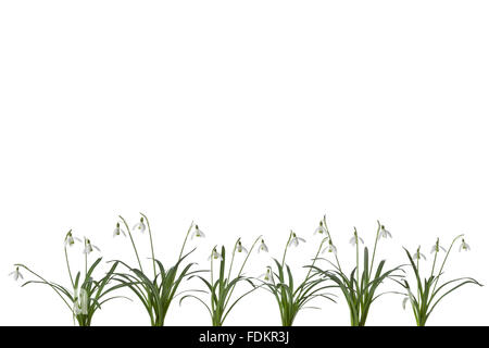Row of Snowdrop flowers on white background with space for text on top of the page - Stock Photo