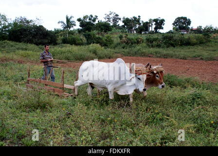 Farmer ploughing a field with oxen, Vinales, Cuba - Stock Photo