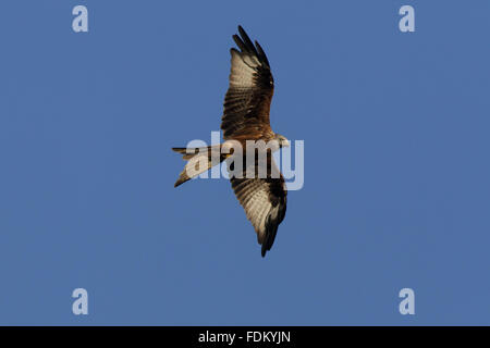 Red Kite (Milvus milvus) over Watlington Hill, Oxfordshire, in September. - Stock Photo