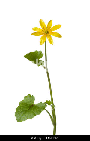 Yellow Lesser celandine flower on white background - Stock Photo