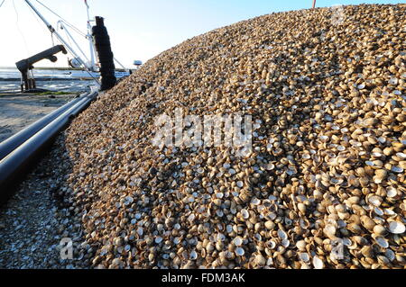 cockle shells at Leigh-on-Sea, Essex, UK. - Stock Photo