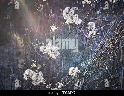 clematis vitalba old mans beard in winter - Stock Photo