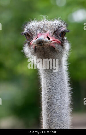 Ostrich looking into the camera close up - Stock Photo