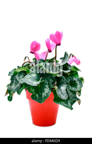 a Cyclamen hederifolium, popularly known as sowbread, with pink flowers in a red plant pot on a white background - Stock Photo
