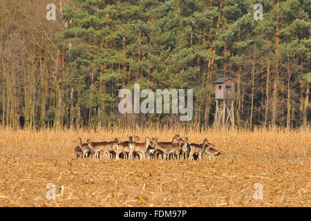 deer,red deer - Stock Photo