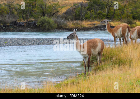 Guanacos (Lama guanicoe), Torres del Paine National Park, Chilean Patagonia, Chile - Stock Photo