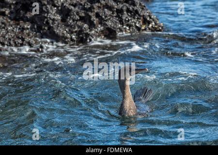 Galapagos Flightless Cormorant (Nannopterum harrisi) swimming, Elisabeth Bay, Isabela Island, Galapagos, Ecuador - Stock Photo