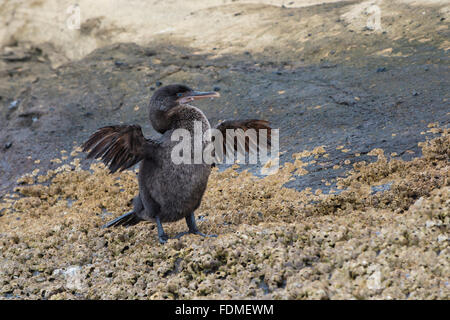Galapagos Flightless Cormorant (Nannopterum harrisi), Tagus Cove, Isabela Island, Galapagos, Ecuador - Stock Photo