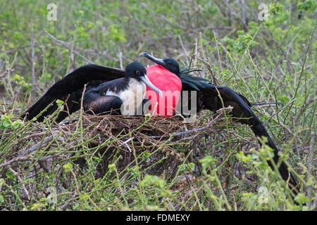 Nesting Great Frigatebirds (Fregata minori, Genovesa Island, Galapagos, Ecuador - Stock Photo