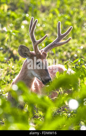 The marsh deer in Alto Pantanal - also known as deer, Guacu-Pucu and suacuapara - Stock Photo