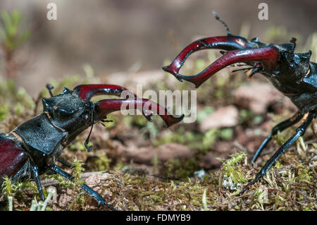 Stag beetles (Lucanus cervus), males fighting, Tauersche Eichen Nature Reserve, Brandenburg, Germany - Stock Photo