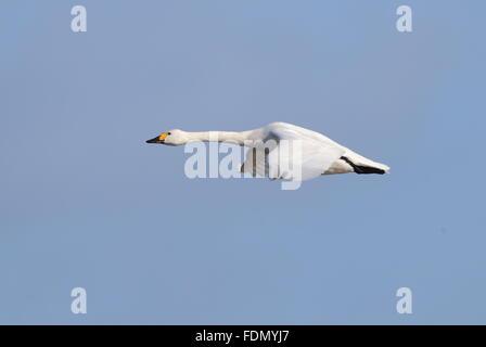 Bewick`s Swan - Stock Photo
