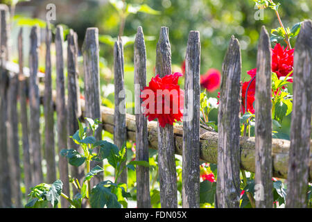 Dahlia (Dahlia sp.) flowers on old wooden fence, Germany - Stock Photo