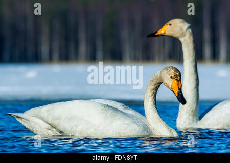 Two whooper swans - Stock Photo