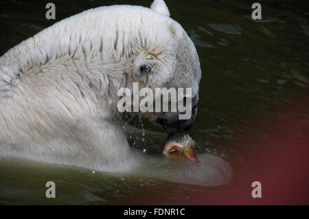 The polar bear waits to be fed his fish - Stock Photo