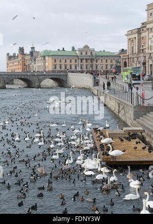 Stockholm, Sweden - swans and ducks and other birds gathered for winter feeding on the Norrstrom river - Stock Photo