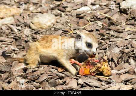 Baby meerkat (Suricata suricatta) eating a chick - Stock Photo