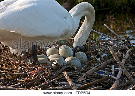 A female mute swan, Cygnus olor, turning eggs on her nest - Stock Photo