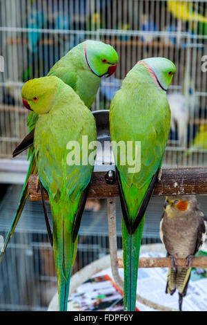 Colourful Exotic Birds For Sale At The Bird Market In Souk Waqif, Doha, Qatar - Stock Photo