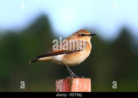 Northern Wheatear (Oenanthe oenanthe) - Stock Photo