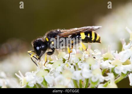Mason wasp (Ectemnius continuus) adult female, feeding on Hogweed (Heracleum sphondylium) flowers. Powys, Wales. - Stock Photo