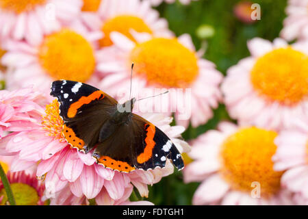 Red Admiral Butterfly (Vanessa atalanta) adult butterfly resting on Dahlia flowers in a garden. Carmarthenshire, - Stock Photo