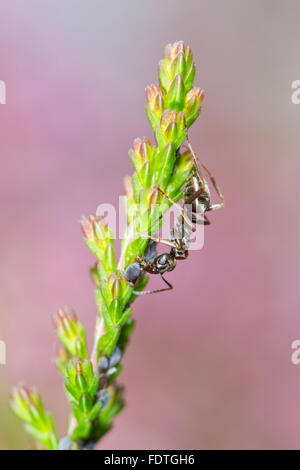 Negro Ant (Formica fusca) adult worker tending aphids on Common Heather or Ling (Calluna vulgaris). Powys, Wales. September. Stock Photo