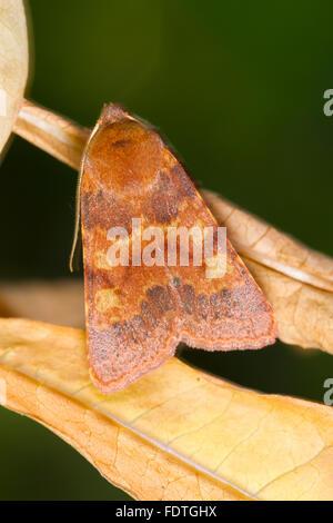 Flounced Chestnut moth (Agrochola helvola) adult moth resting amongst leaves. Powys, Wales. September. - Stock Photo