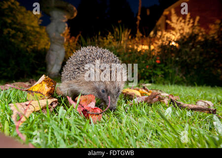 European Hedgehog (Erinaceus europaeus) wild adult, feeding on a garden lawn at night. Powys, Wales. September. - Stock Photo