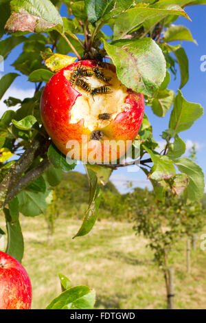 Common wasp (Vespula vulgaris) adult workers, feeding on a damaged apple (Malus domestica) variety ' Lord Lambourne'. - Stock Photo