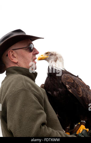 Zingst, Germany, Weisskopfseeadler at a flight demonstration - Stock Photo