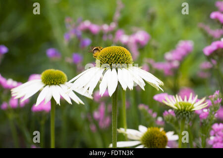 Echinaceae purpurea flowers growing in an herbaceous border - Stock Photo