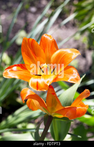 Decorative bright orange flowers, lily. Soft selective focus. Closeup Image. - Stock Photo
