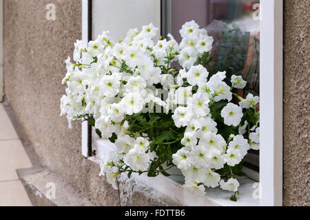 Authentic white flowers in the open window in the wall of the house run. Selective focus and space in the zone blurring - Stock Photo