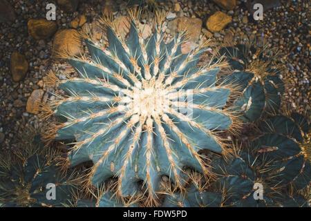 Ferocactus glaucescens Blue Barrel Cactus with needles. - Stock Photo