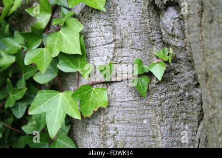Beautiful green ivy on bark on a tree - Stock Photo