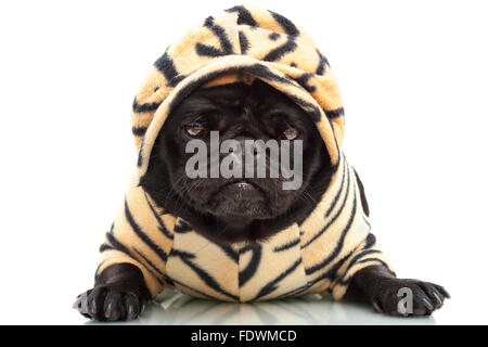 Portrait of black pug puppy dog in tiger print pet clothing hoodie outfit isolated on white background  Model Release: - Stock Photo