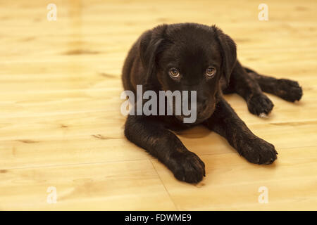 Black Rottweiler Labrador Retriever mixed breed puppy dog  Model Release: No.  Property release: Yes (dog).