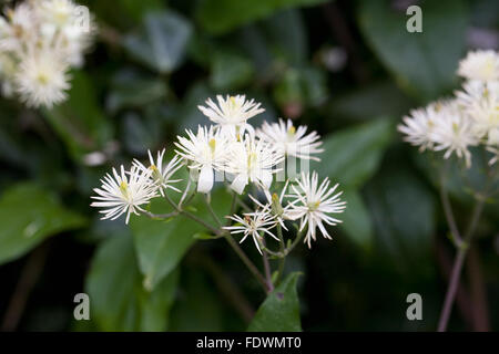 Clematis vitalba. Wild clematis growing in the hedgerow. - Stock Photo