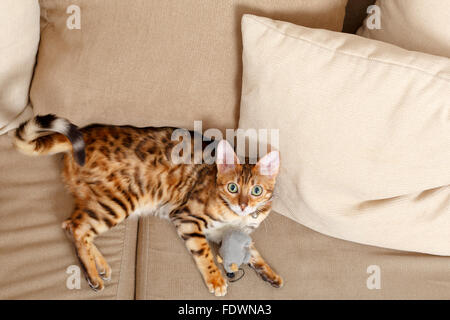 Female Bengal cat kitten from above laying on sofa  Model Release: No.  Property Release: Yes (cat). - Stock Photo
