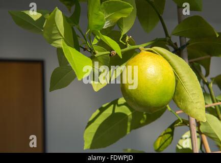 Berlin, Germany, on a lemon Indoor lemon tree - Stock Photo