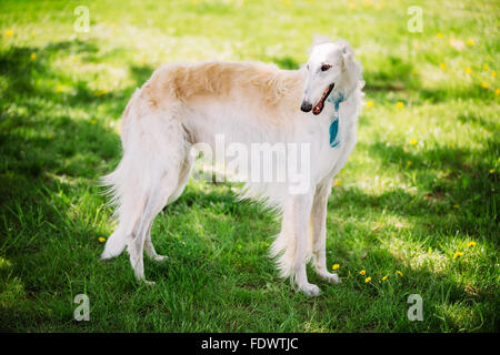 White Russian Borzoi (sighthound, gazehound) staying outdoor in summer meadow, field green grass. These dogs specialize - Stock Photo