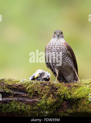 Wild Female Sparrowhawk (Accipiter nisus) perched with prey - Stock Photo
